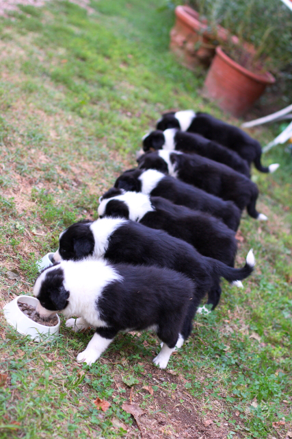 Border Collie Related Keywords - Border Collie Long Tail